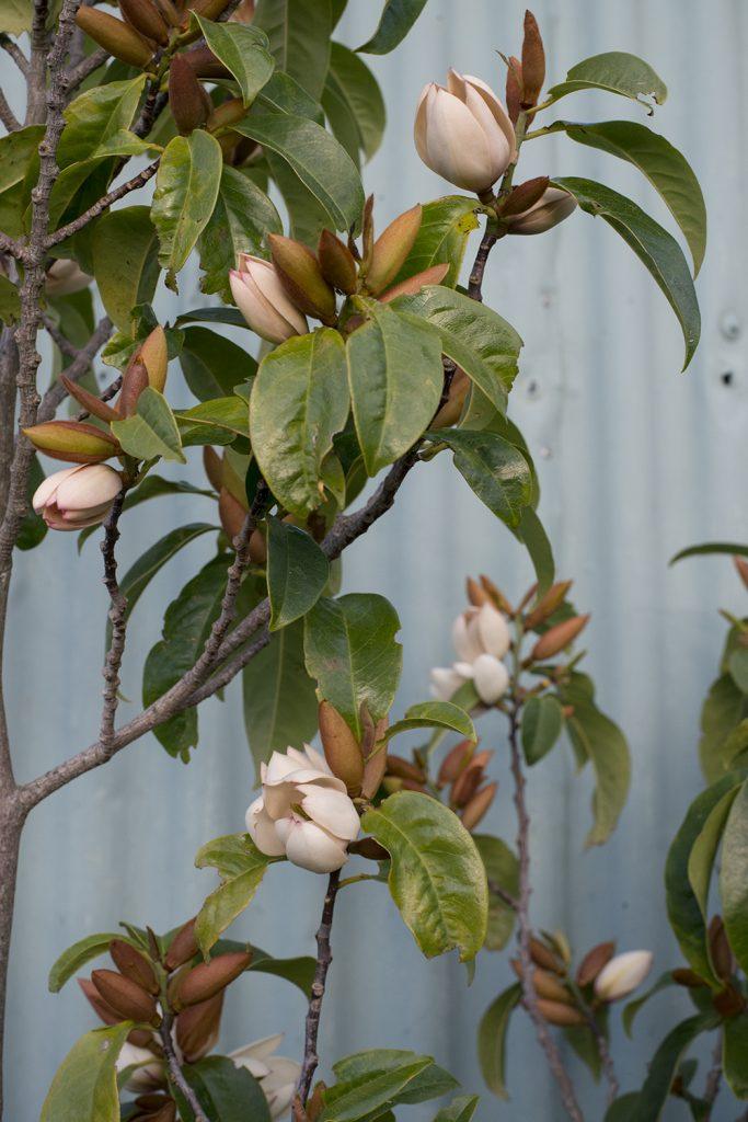 Magnolia, Carterton