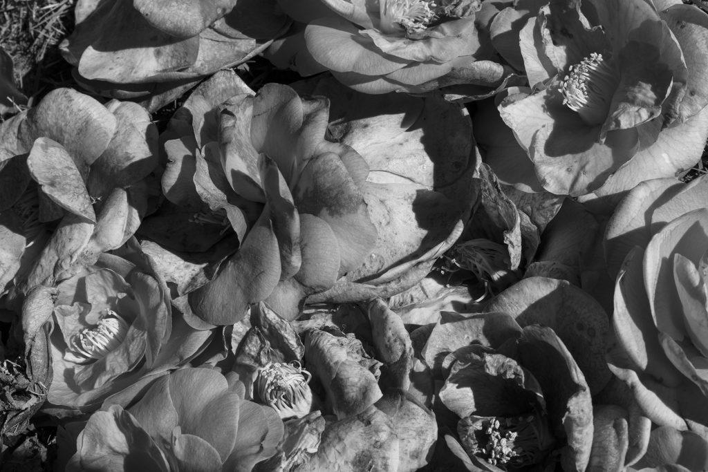 Spring camillia