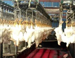 Chickens hanging by their secondary contradictions in a modern Chinese poultry slaughterhouse